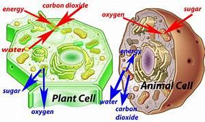 3 3 Plant Cells