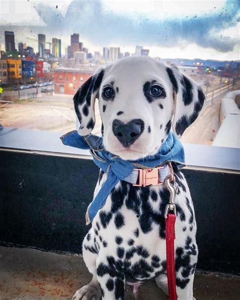 meet wiley  dalmatian puppy   heart shaped nose