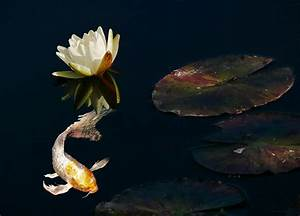Japanese Koi Fish And Water Lily Flower Photograph by