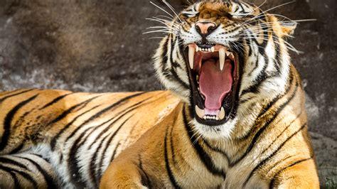 tiger  ultra hd wallpaper background image
