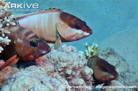 grouper blacktip alchetron