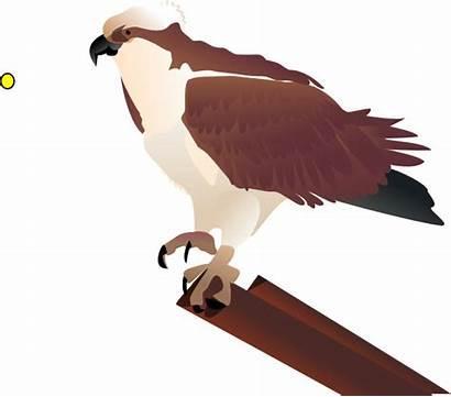 Osprey Bird Clip Clipart Branch Vector Standing