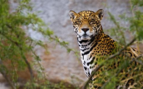 Jaguar Backgrounds by Jaguar Hd Wallpaper And Background Image 2560x1600