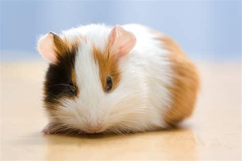 guinea pig names 72 cute and funny guinea pig names pethelpful