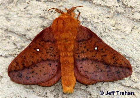 spiny oakworm moth anisota stigma fabricius