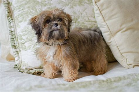 1 Year Old Shorkie This Is What Max Looks Like As An Adult