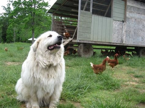 choose   guard dog     family