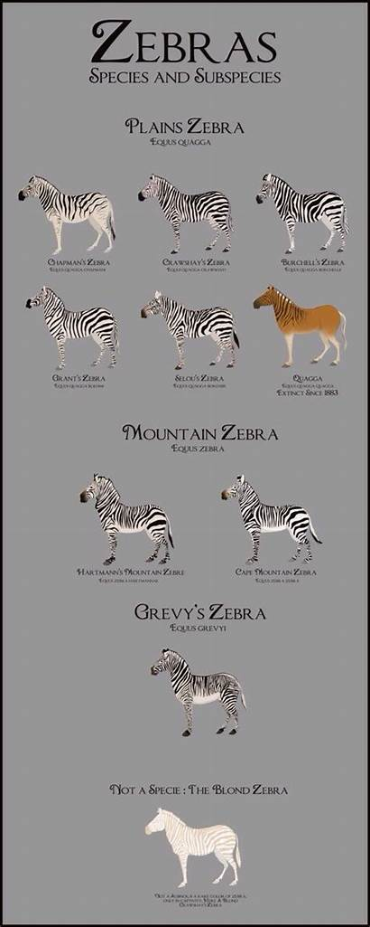 Zebras Zebra Species Subspecies Types Animals Many