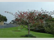 fruiting iigiri tree Wonder Tree Idesia polycarpa