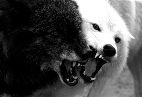 Black And White Wolf Wallpaper by Black And White Wolf 8 Cool Hd Wallpaper