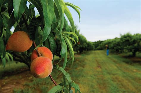 how to prune peach trees tennessee home and farm