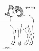 Sheep Coloring Bighorn Russell Pages Pdf Nature Template Exploringnature Sponsors Wonderful Support Please sketch template