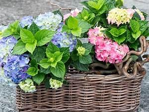 Hortensie Umpflanzen Im Topf : sehr attraktiv pr sentiert sich die hortensie im topf der in einem weidengeh use versteckt ist ~ Orissabook.com Haus und Dekorationen