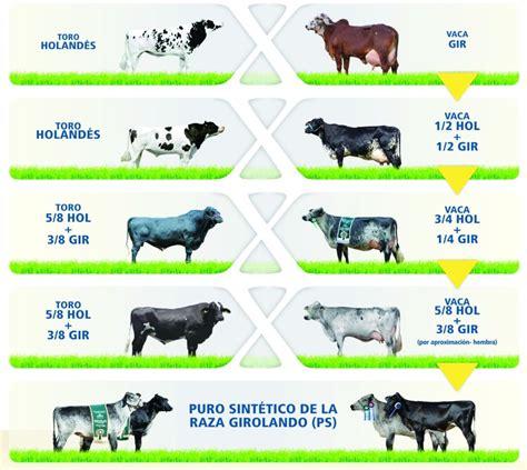Raza bovina Girolando, Productividad y adaptación lechera