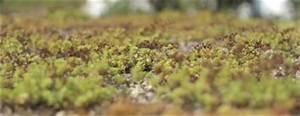 Extensive Dachbegrünung Pflanzen : samenm bepflanzen zur dachbegruenung ~ Frokenaadalensverden.com Haus und Dekorationen