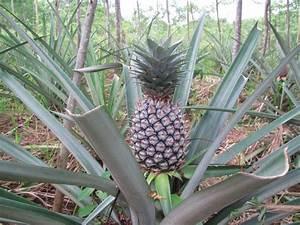Papaya - Pineapple - Purple Passion fruit Plants
