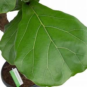 Großen Apfelbaum Kaufen : zimmerpflanzen mit gro e bl tter kaufen 123zimmerpflanzen ~ Frokenaadalensverden.com Haus und Dekorationen