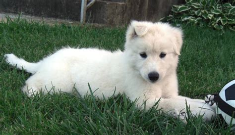non shedding husky cross what you need to before getting a husky lab mix
