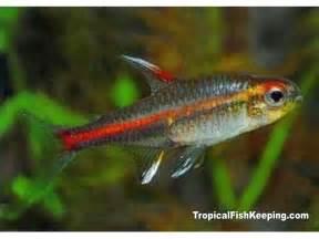 Glow Light Tetra Fish