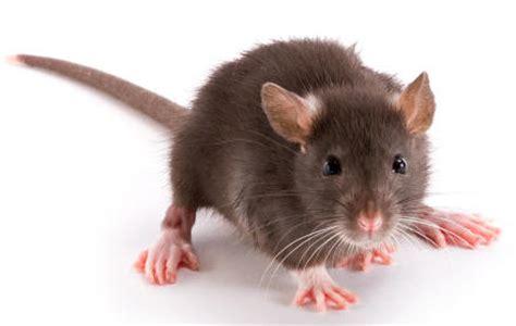year rat