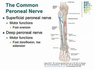 Peroneal Nerve Anatomy Accessphysiotherapy Lumbar And ...