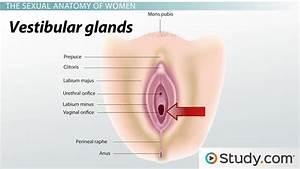 Human Sexual Anatomy  U0026 Physiology  Major Features