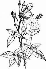 Coloring Flowering Shrub Flower Wecoloringpage sketch template