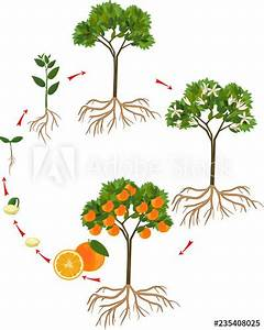 Life Cycle Of Orange Tree  Stages Of Growth From Seed And