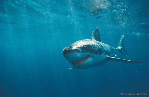 shark windows  wallpapers