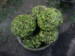 Bonsai-serut-tree-ideas