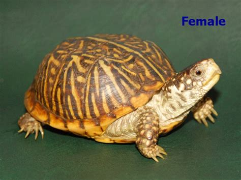 Heat Ls For Box Turtles by Ornate Box Turtles For Sale From The Turtle Source