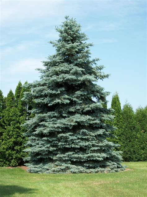 spruce trees picea pungens glauca colorado blue spruce leafland
