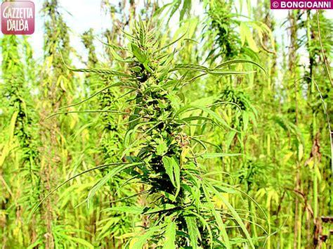 apéritif canapé top 28 can apa cannabis special scents cannabis