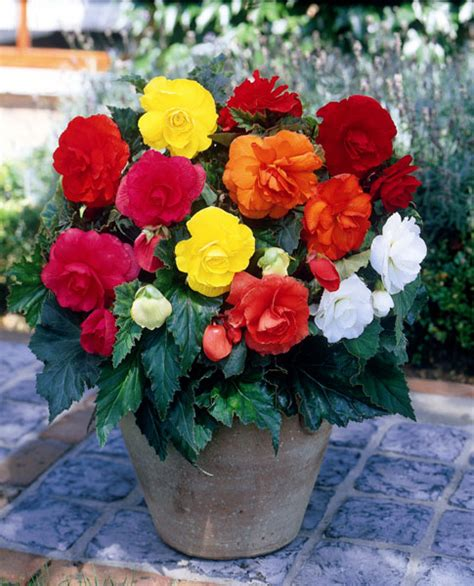 buy begonia bulbs begonia mixed doubles delivery by waitrose garden in association with crocus