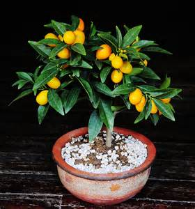 Kumquat Bonsai Tree