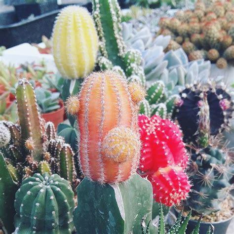 อยู่แดดจัดแล้วสีส๊วยสวยยยย #peanut #cactusthailand #สวน ...
