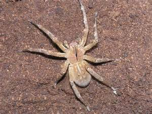 Most Poisonous Brazilian Wandering Spider