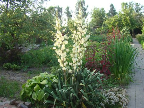 yucca palme winterhart yucca palme nach drau 223 en stellen 187 wann geht das palmlilie