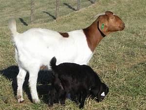 Individual Record at Cane Run Creek Boer Goats