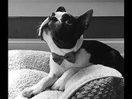 Black and White Boston Terrier Puppies
