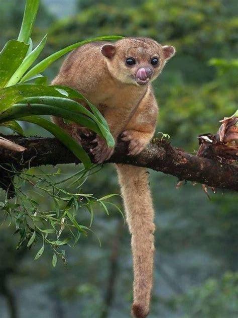 Kinkajou Honey Bear Animal