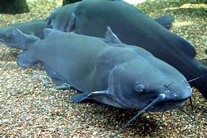 File:Channel Catfish.jpg - Wikimedia Commons