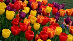 How Do You Plant Tulip Bulbs