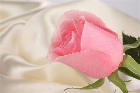 pic posts wallpaper mawar cantik