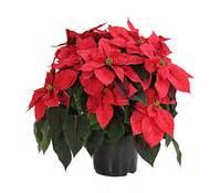 Weihnachtsstern Pflanze Kaufen : weihnachtsstern dehner garten center ~ Michelbontemps.com Haus und Dekorationen