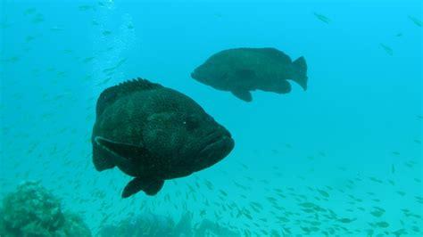 grouper taste does flounder gag reference groupers halibut flavor