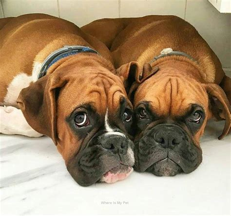 Boxer Dog Funny Face Momments . Follow Us to See more ...