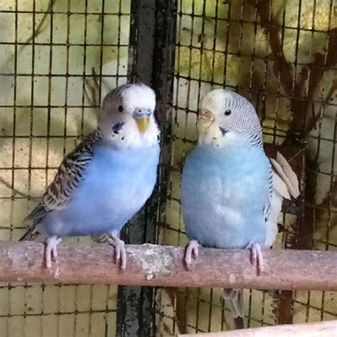 riproduzione cocorite in gabbia coppia pappagalli cocorite animali settembre clasf