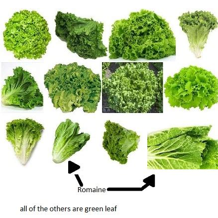 kinds of lettuce greens romaine lettuce or green leaf lettuce binkybunny com house rabbit information forum
