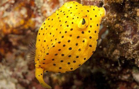 boxfish factsheet  odd box  fish family